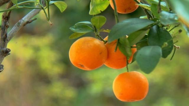 四季橘.jpg