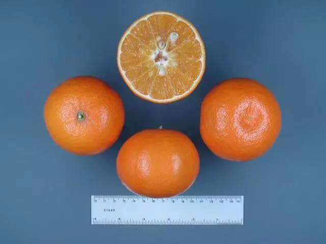 奥兰多橘柚.jpg